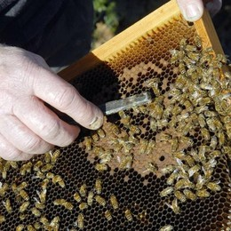 In Valle è boom per l'apicoltura. Imprese: +19%