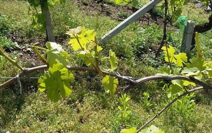 Razzie di ungulati a Castione  «Gravissimi danni alle vigne»
