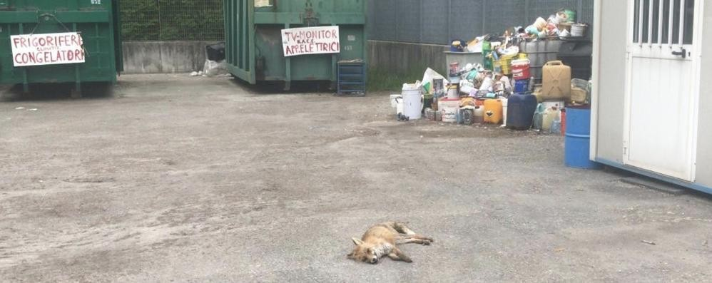 Allarme cimurro, è strage di volpi  Ora si teme per i cani