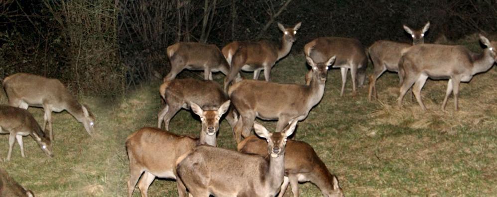Sorico, tolta la recinzione elettrificata  Ritorna il pericolo dei cervi sulla strada