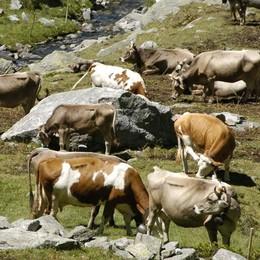 Ferito da mucca nutrice, è grave un escursionista sul passo del Bernina