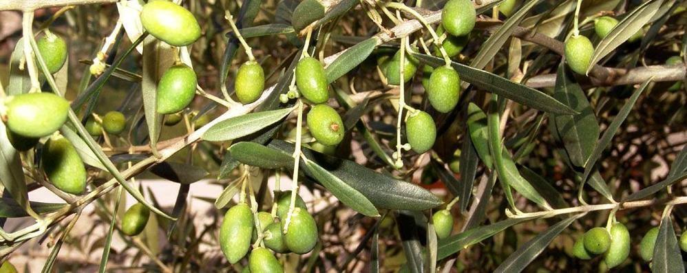 L'ulivo avanza a Nord. Con il clima che cambia è sempre più diffuso