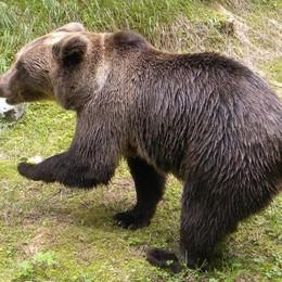Aprica, orsi superstar nel Parco delle Orobie