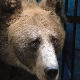 Due orsi ad Aprica. Ma sono nel recinto