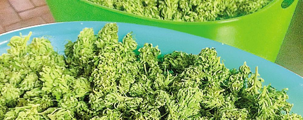 C'è il via  alla cannabis a tavola  Sfida per l'agricoltura lariana