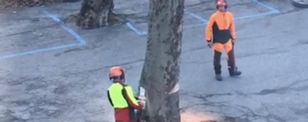 Due platani tagliati a Chiavenna e cresce la polemica: «Dovevamo farlo»