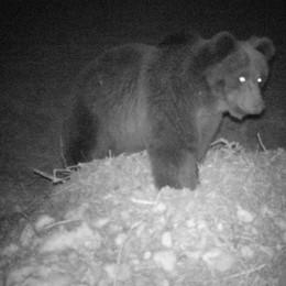 La gente è in casa, l'orso scende  Avvistato in Val Poschiavo