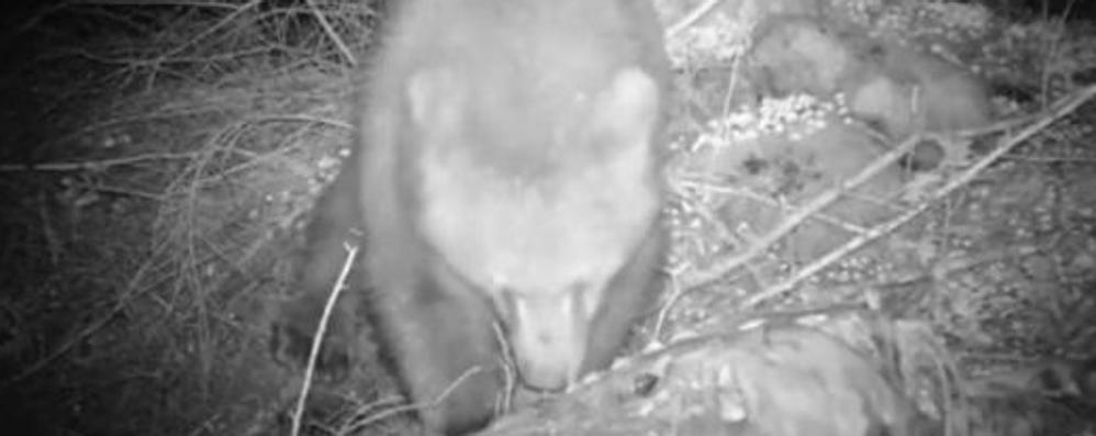 Altro attacco a Grosotto  L'orso rompe la rete  e mangia una pecora