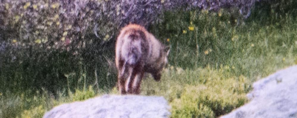 «Ho visto un lupo in Val Gerola  E l'ho fotografato»