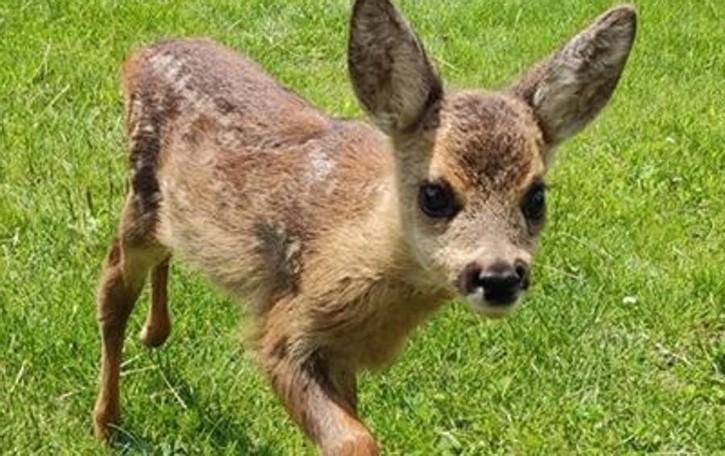 Un cucciolo di capriolo  trovato in Valgrosina