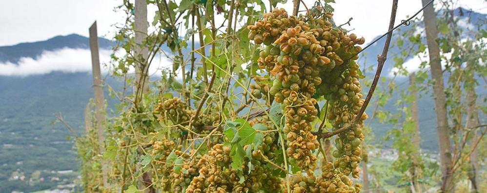 Grandine, vigne  danneggiate  anche del 50%