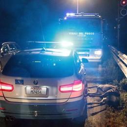 Attraversa la statale  Cervo ucciso da un'auto