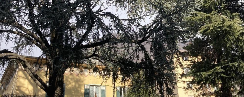 «Non tagliate il cedro»  Operazione salvataggio  per l'albero di 90 anni