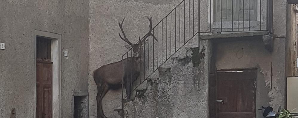 Delebio, un cervo sulle scale