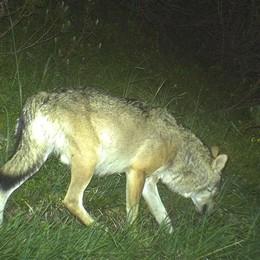 Val Bregaglia, avvistato lupo  vicino al confine