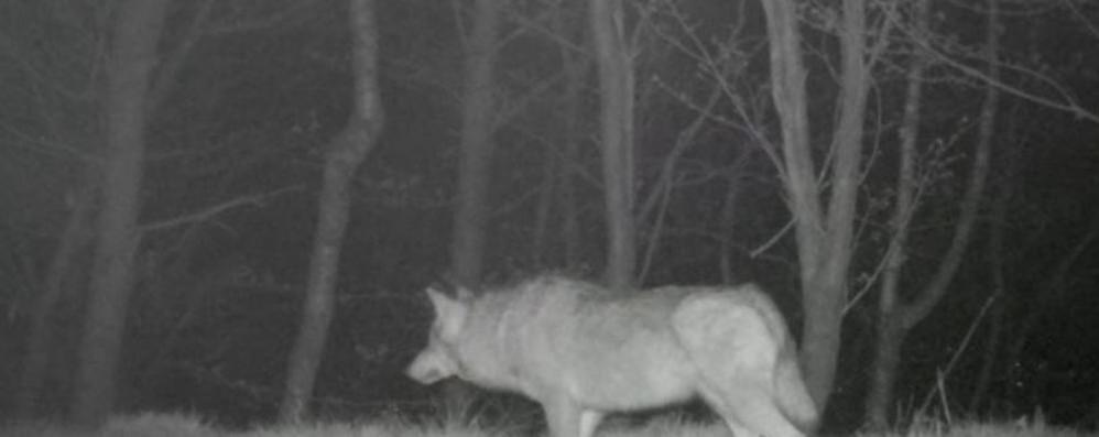 Pecore sbranate dal lupo  «Non accusate gli allevatori»
