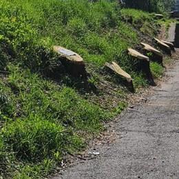 Sentiero Valtellina  «Strage di alberi»  «No, erano malati»
