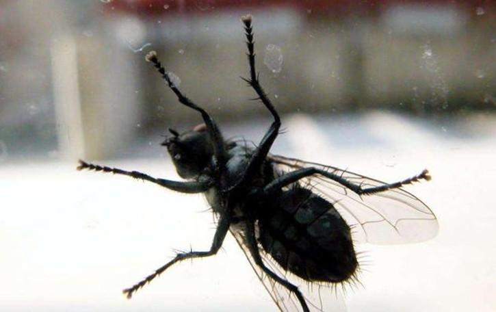 L'invasione delle mosche  «Pazienza e tanta pulizia»