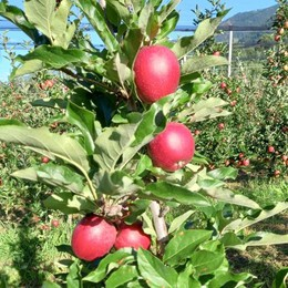 Raccolta delle mele  stagione iniziata  «Più piccole ma ok»