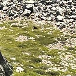L'orso è tornato sui monti di Grosio  « Lo abbiamo visto a Varadega»